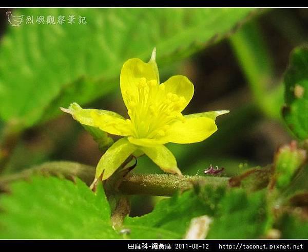 田麻科-繩黃麻_11.jpg