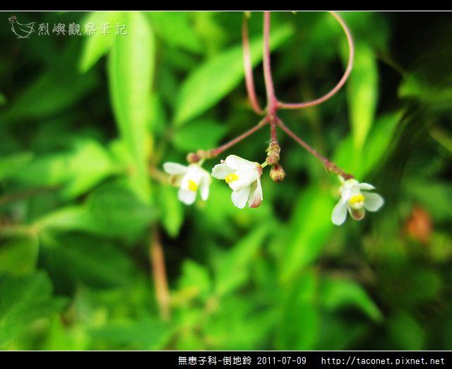 無患子科-倒地鈴_05.jpg