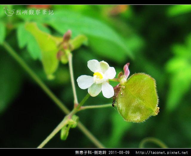 無患子科-倒地鈴_09.jpg