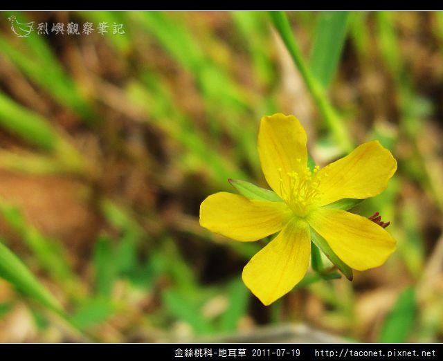 金絲桃科-地耳草_07.jpg
