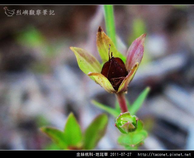 金絲桃科-地耳草_09.jpg
