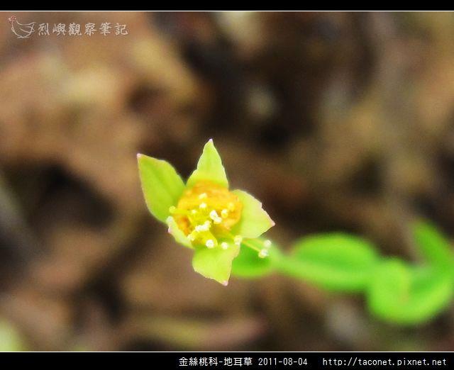 金絲桃科-地耳草_11.jpg
