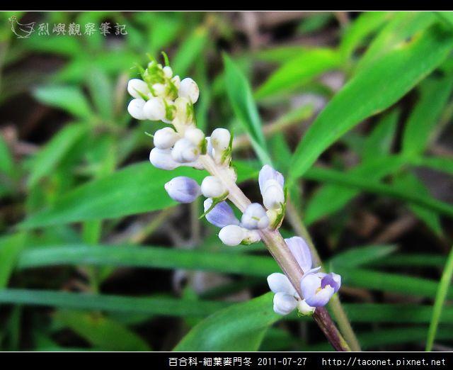 百合科-細葉麥門冬_01.jpg