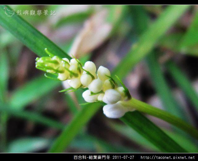 百合科-細葉麥門冬_02.jpg