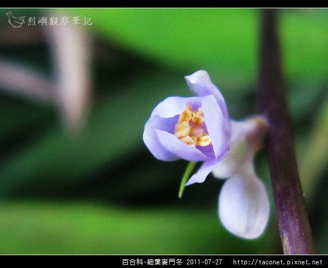 百合科-細葉麥門冬_04.jpg