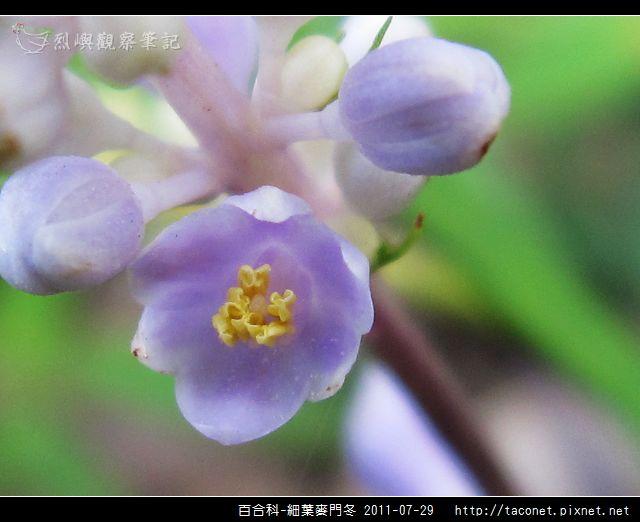 百合科-細葉麥門冬_05.jpg