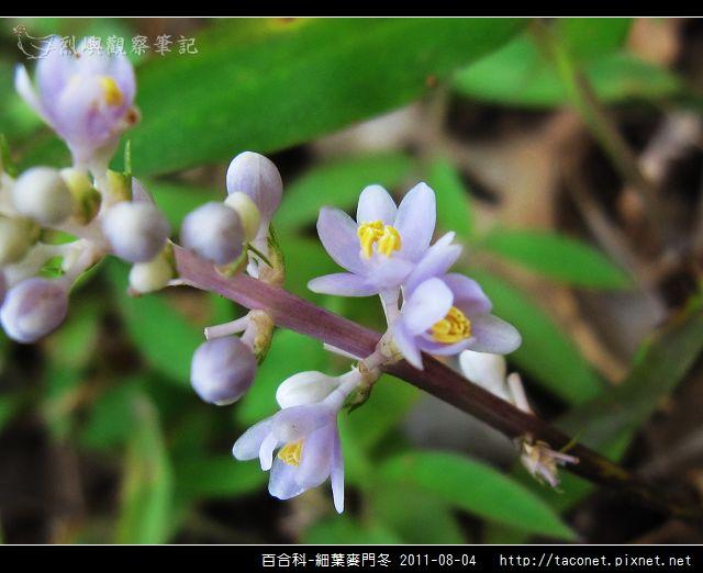 百合科-細葉麥門冬_07.jpg