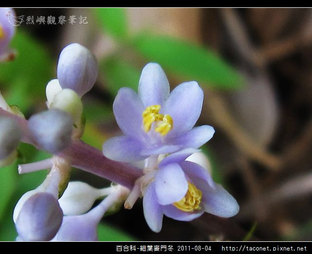 百合科-細葉麥門冬_09.jpg