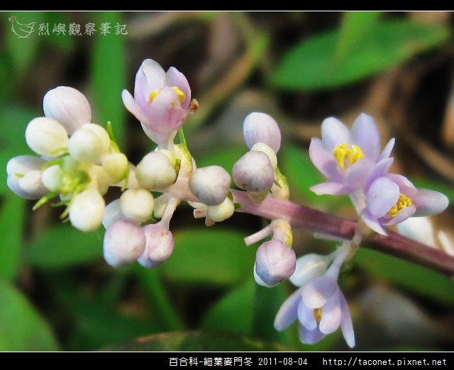 百合科-細葉麥門冬_10.jpg