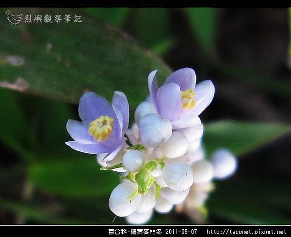 百合科-細葉麥門冬_11.jpg