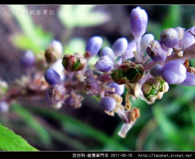 百合科-細葉麥門冬_12.jpg