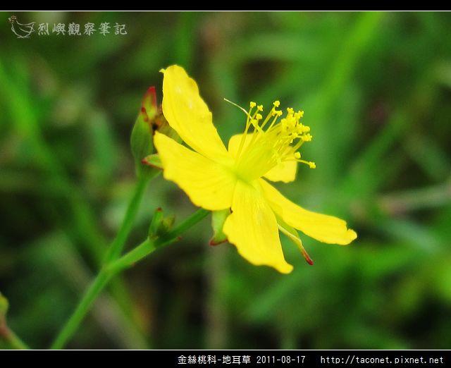 金絲桃科-地耳草_17.jpg