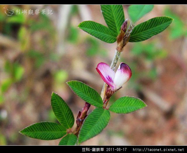 豆科-雞眼草_07.jpg
