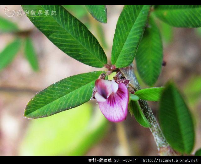 豆科-雞眼草_08.jpg