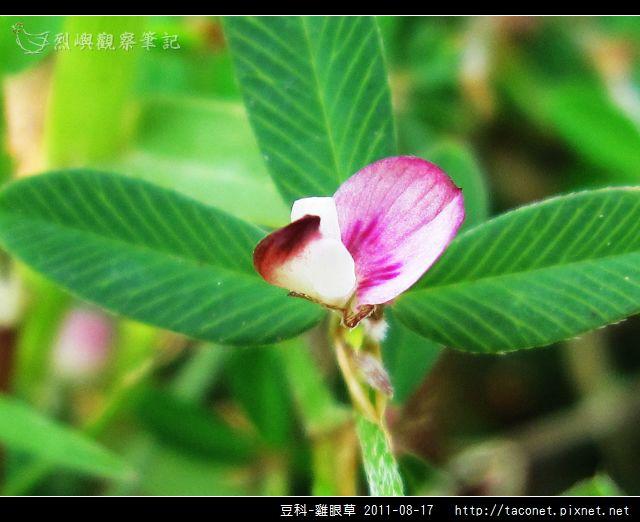 豆科-雞眼草_10.jpg
