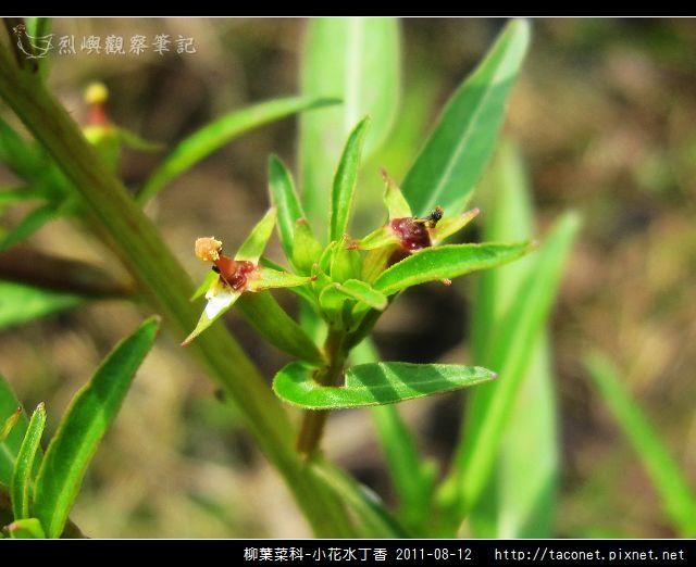 柳葉菜科-小花水丁香_05.jpg