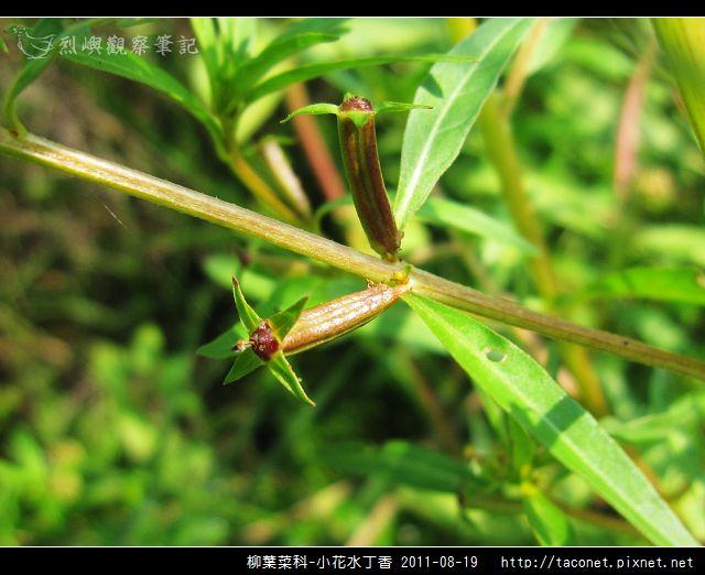 柳葉菜科-小花水丁香_07.jpg