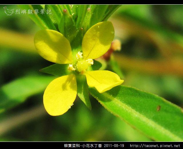 柳葉菜科-小花水丁香_09.jpg