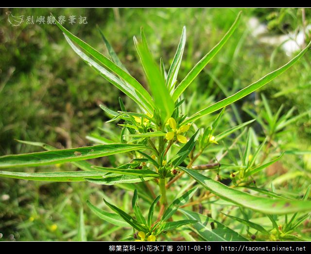 柳葉菜科-小花水丁香_11.jpg