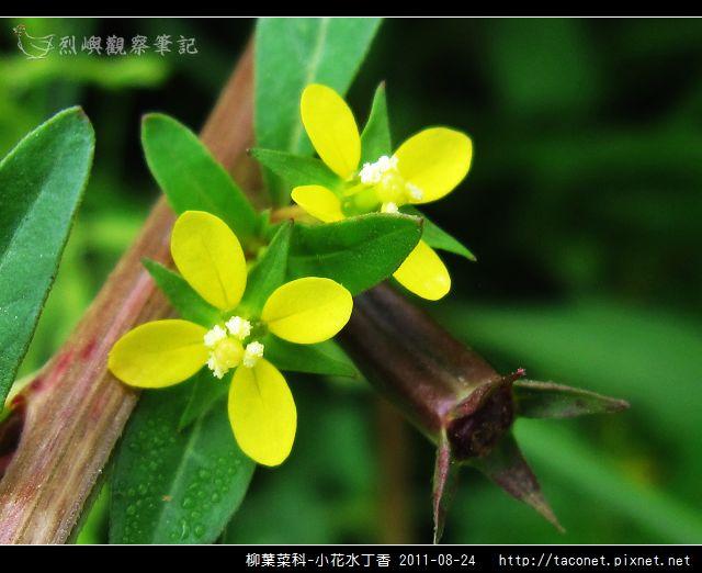 柳葉菜科-小花水丁香_12.jpg