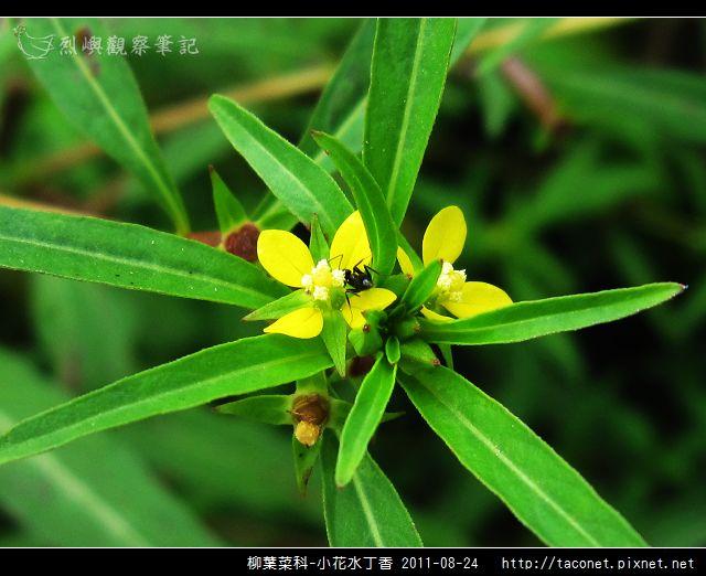 柳葉菜科-小花水丁香_13.jpg