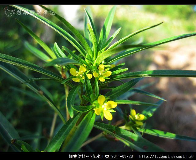 柳葉菜科-小花水丁香_14.jpg