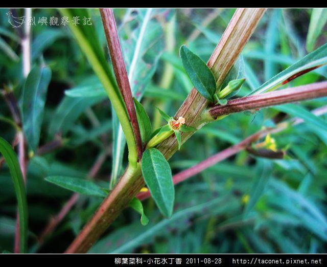 柳葉菜科-小花水丁香_15.jpg