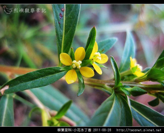 柳葉菜科-小花水丁香_16.jpg