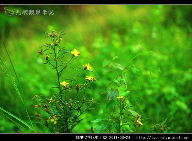柳葉菜科-水丁香_01.jpg