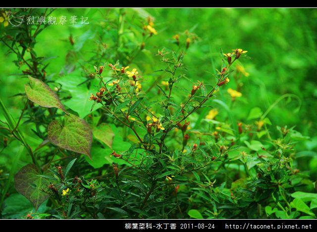 柳葉菜科-水丁香_02.jpg