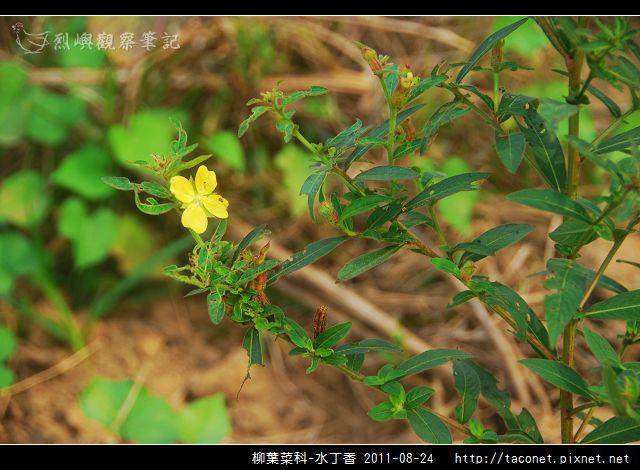柳葉菜科-水丁香_03.jpg