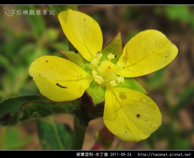 柳葉菜科-水丁香_04.jpg