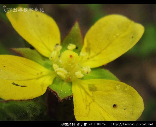 柳葉菜科-水丁香_06.jpg