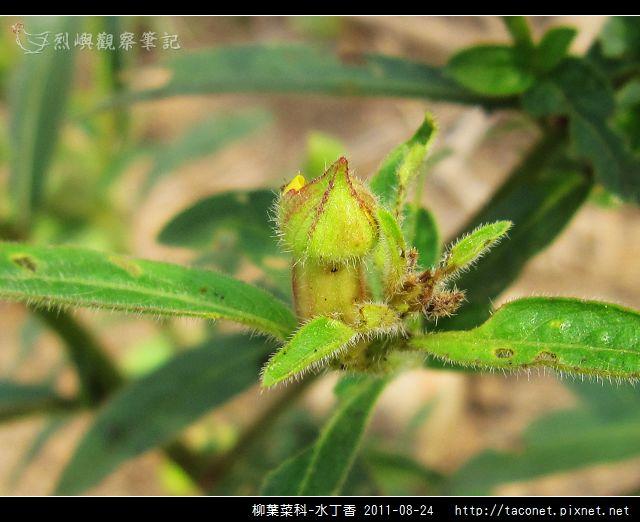 柳葉菜科-水丁香_07.jpg