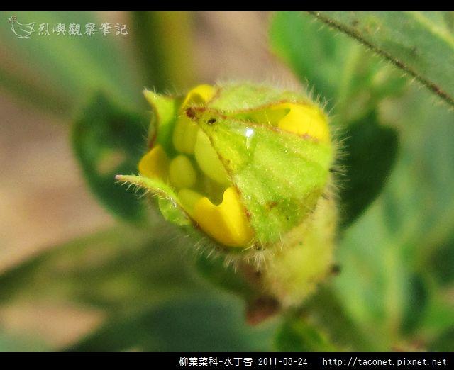 柳葉菜科-水丁香_08.jpg