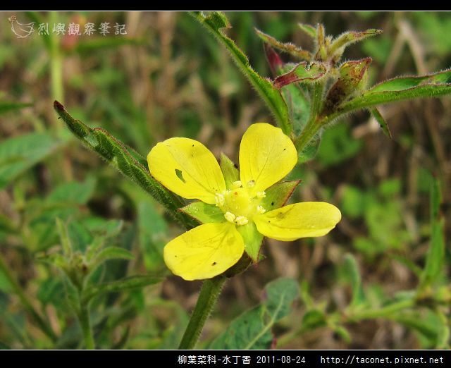 柳葉菜科-水丁香_10.jpg