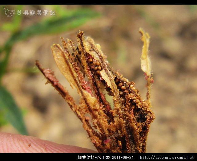 柳葉菜科-水丁香_11.jpg