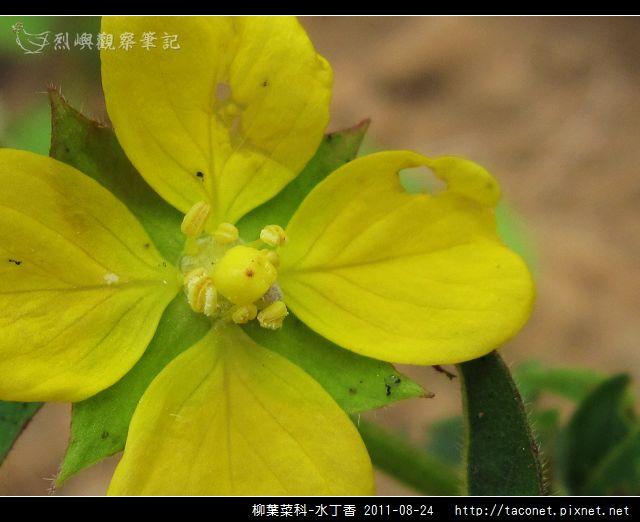 柳葉菜科-水丁香_12.jpg