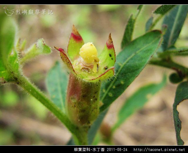 柳葉菜科-水丁香_14.jpg