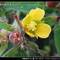 柳葉菜科-水丁香_16.jpg