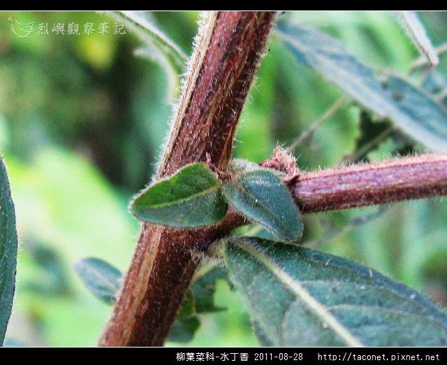 柳葉菜科-水丁香_17.jpg