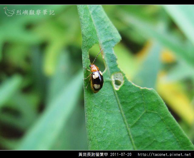 黃斑長跗螢葉甲_01.jpg