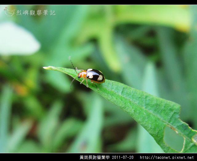 黃斑長跗螢葉甲_02.jpg