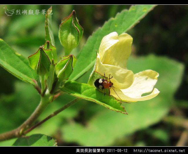 黃斑長跗螢葉甲_05.jpg