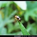 黃斑長跗螢葉甲_04.jpg