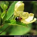 黃斑長跗螢葉甲_06.jpg