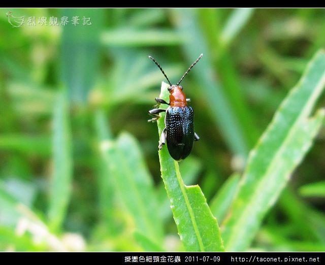 擬變色細頸金花蟲_02.jpg