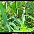 擬變色細頸金花蟲_01.jpg
