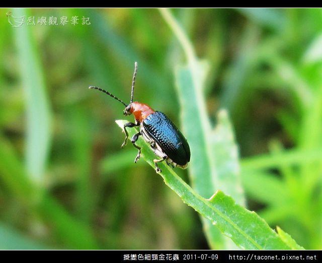 擬變色細頸金花蟲_03.jpg