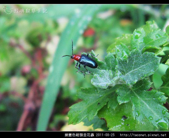 擬變色細頸金花蟲_04.jpg